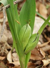 narciso de otono